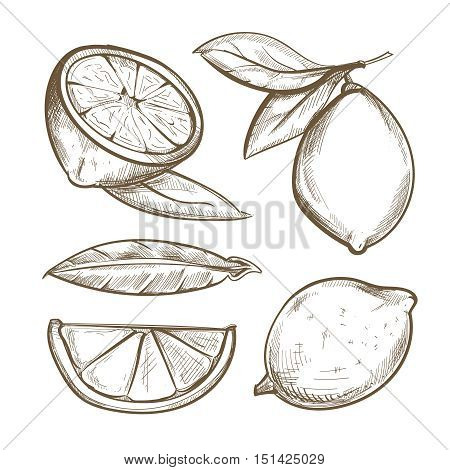 Hand drawn lemons with branch, lemon blossom, citrus slices and leaves. Citrus organic slice illustration
