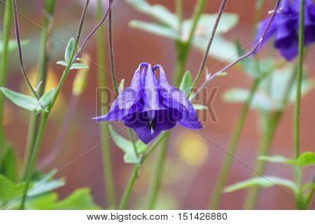 Flowers Aquilegia. Violet Blue Flowers In The Flowerbed.