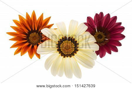 beautiful flower gazania isolated on white background