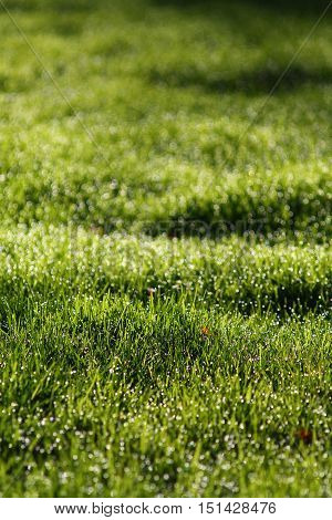 Bright green wet grass background, selected focus, bokeh.
