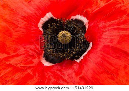red poppy flower opium, love, poppy, papaveraceae close-up