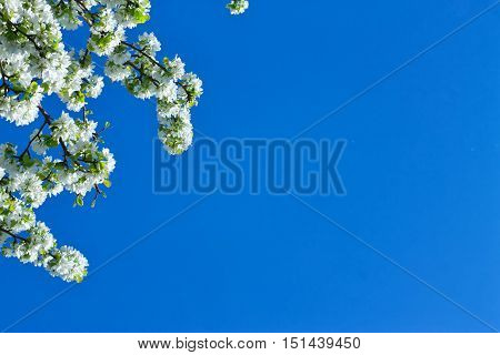 Apple Flowers Are Blooming, On Background Sky