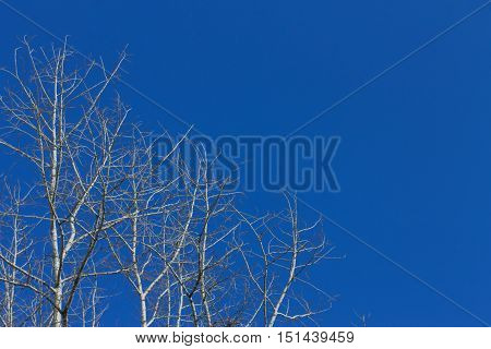 Dry Cottonwood Tree Against The Blue Sky