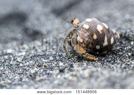 Tropical Hermit Crab