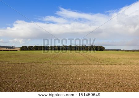 Cultivated Land With Copse