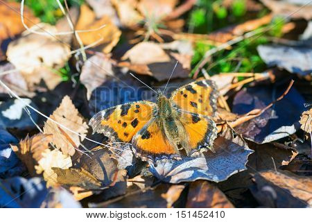 Butterfly urticaria basking in the sun .Siberia