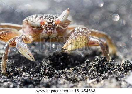 Horned Ghost Crab Or Sand Crab