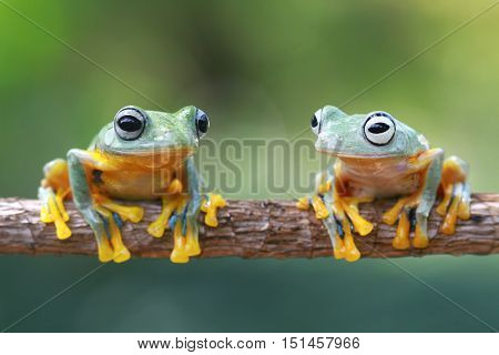 Javan frog face is on the twig