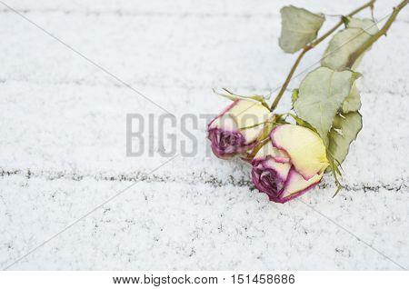 eternal love. snow with dry roses (Soft focus,Lens blur)