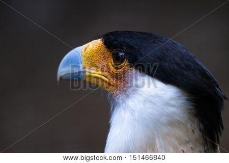 Northern Crested Caracara - Caracara Cheriway