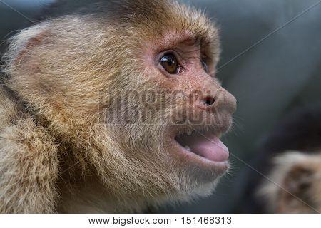 White-faced Or Capuchin Monkey - Cebus Capucinus