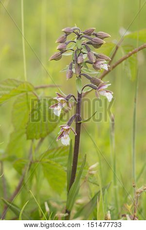 Marsh Helleborine (Epipactis palustris) flowering in a Dune Valley between the vegetation