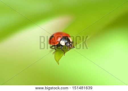 Ladybug on a green leaf in the grass, close-up ladybug