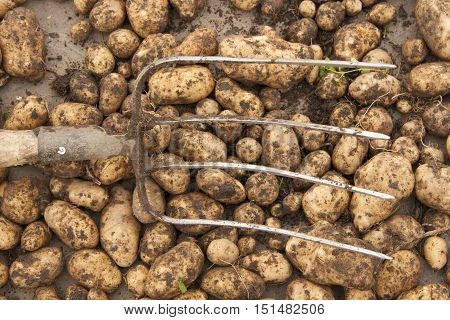 Harvest. Freshly dug potatoes and the pitchforks