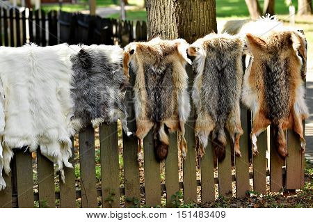 Fox and goat fur for clothing exposed on a wooden fence