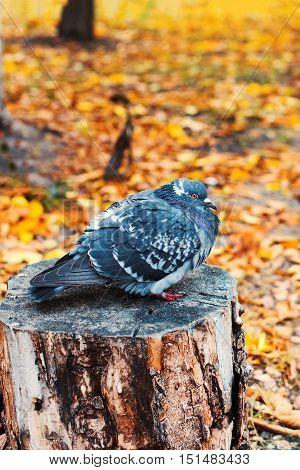 A raised feathers pigeon is sitting on a stub. Autumn. Foliage.