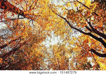 Autumn trees- orange autumn trees tops against blue sky in vintage tones. Autumn natural view of autumn trees. Autumn trees against autumn sky in sunny autumn weather. Autumn view of autumn tree tops