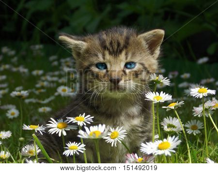 small Kitty cat iwith blue eyes n flower grass