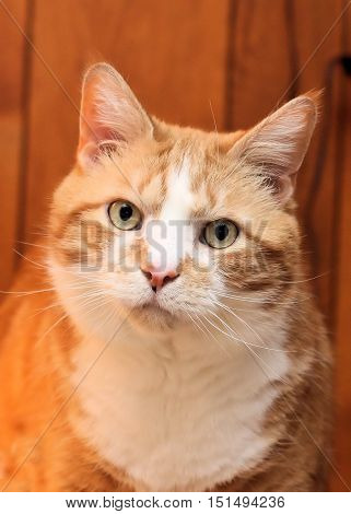 Large older orange and white cat looking intently into the camera lens.