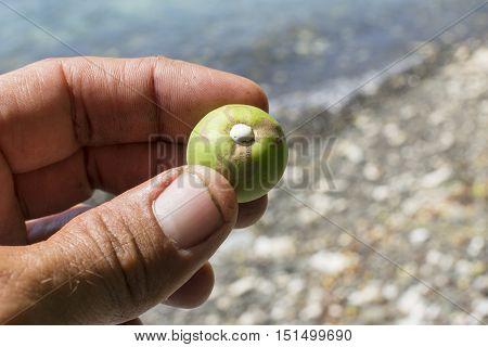 Closeup of man on Caribbean beach holding fresh picked fruit of Hippomane mancinella manchineel tree revealing deadly white sap