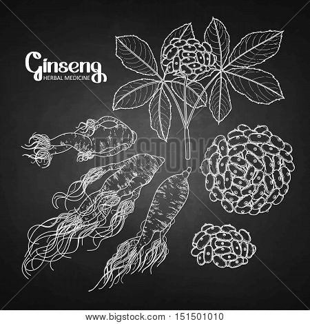 Graphic ginseng root and berries drawn in line art style. Herbal medicine. Vector plants isolated on the chalkboard.