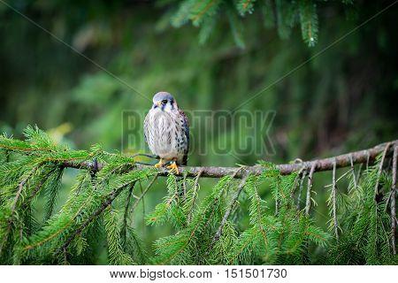 an American kestrel on a green tree branch