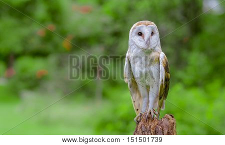 A Barn Owl with the green background