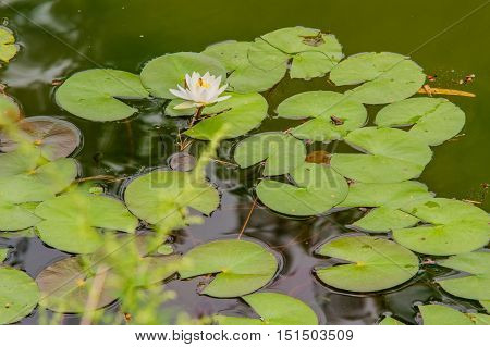 Lilly pads in a pond with a single white lotus flower and small frogs sitting on the leaves