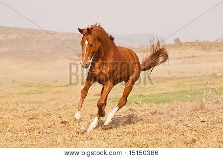 Chestnut horse running on a grass field