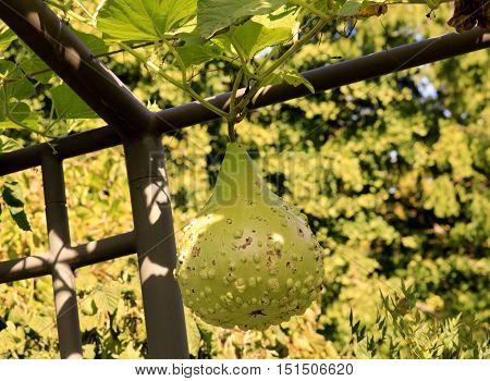 Green gourd hanging down metal trellis; fall