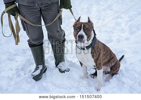 Pitbull Dog sitting near the trainer man on the snow during training course.