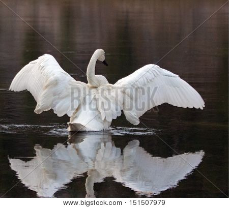 White Trumpeter Swan spreading his wings while reflecting in the Yellowstone River in Yellowstone National Park in Wyoming US