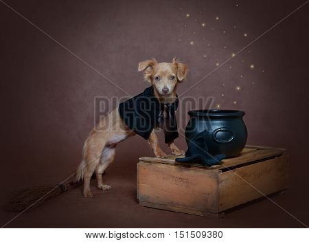 Small russet dog in a costume of witch standing in a cloak near black cauldron