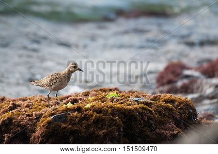 A pacific golden plover searching for food
