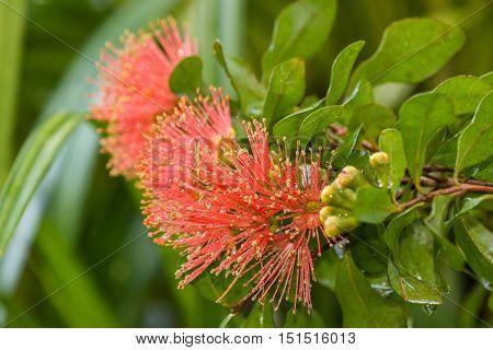 closeup of pink pohutukawa tree flowers in bloom