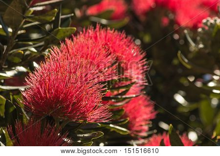 closeup of New Zealand Christmas tree flowers in bloom