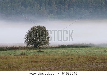 Lonely tree in the wisps of fog