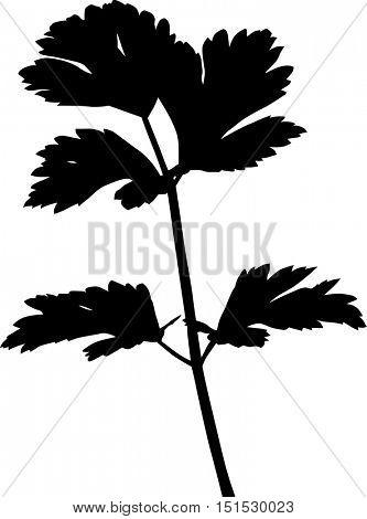 illustration with celery isolated on white background