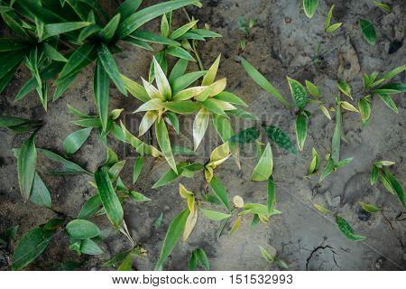 Chrysanthemums On The Garden. Chrysanthemum Background.  Overgro