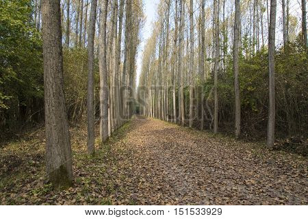 Poplar tree plantation tree nursery in Serbia