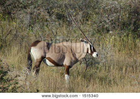 Animalsoryx In Grass