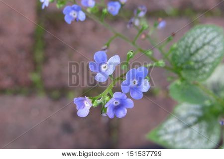 Blue forget-me-not flowers in a garden forget me nots
