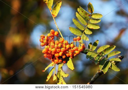 Rowan berries on a tree in the autumn forest