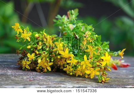 Picked yellow plants of tutsan. Medical plants.