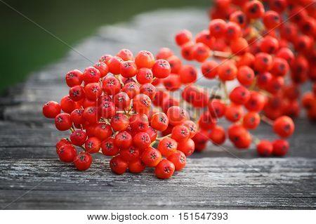 Rowan berries on vintage wooden boards outdoors