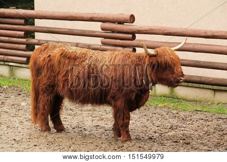 shaggy cow of the breed highland cattle with long hair and horns
