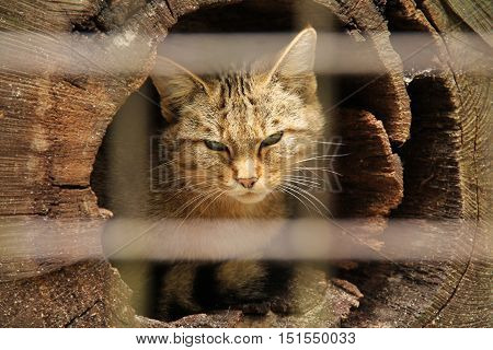 portrait of captive wildcat in the hollow trunk behing the blurred bars