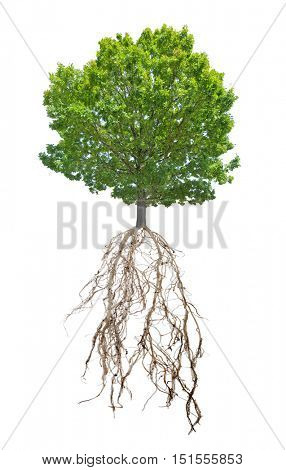 green summer oak tree with root isolated on white background