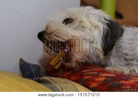 Small white Havanese with the dental care with chewing