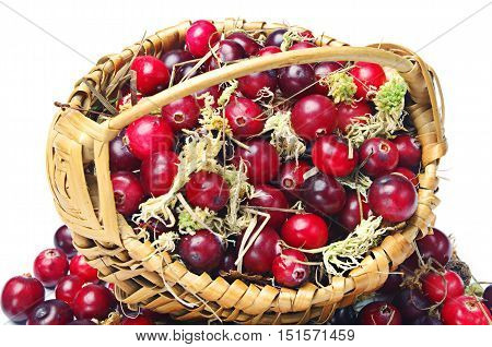 Forest cranberry and moss with basket on white